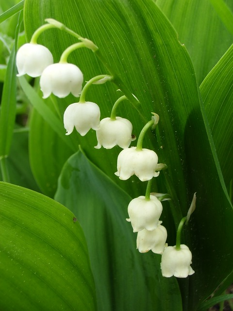 lily-of-the-valley-1349339_640
